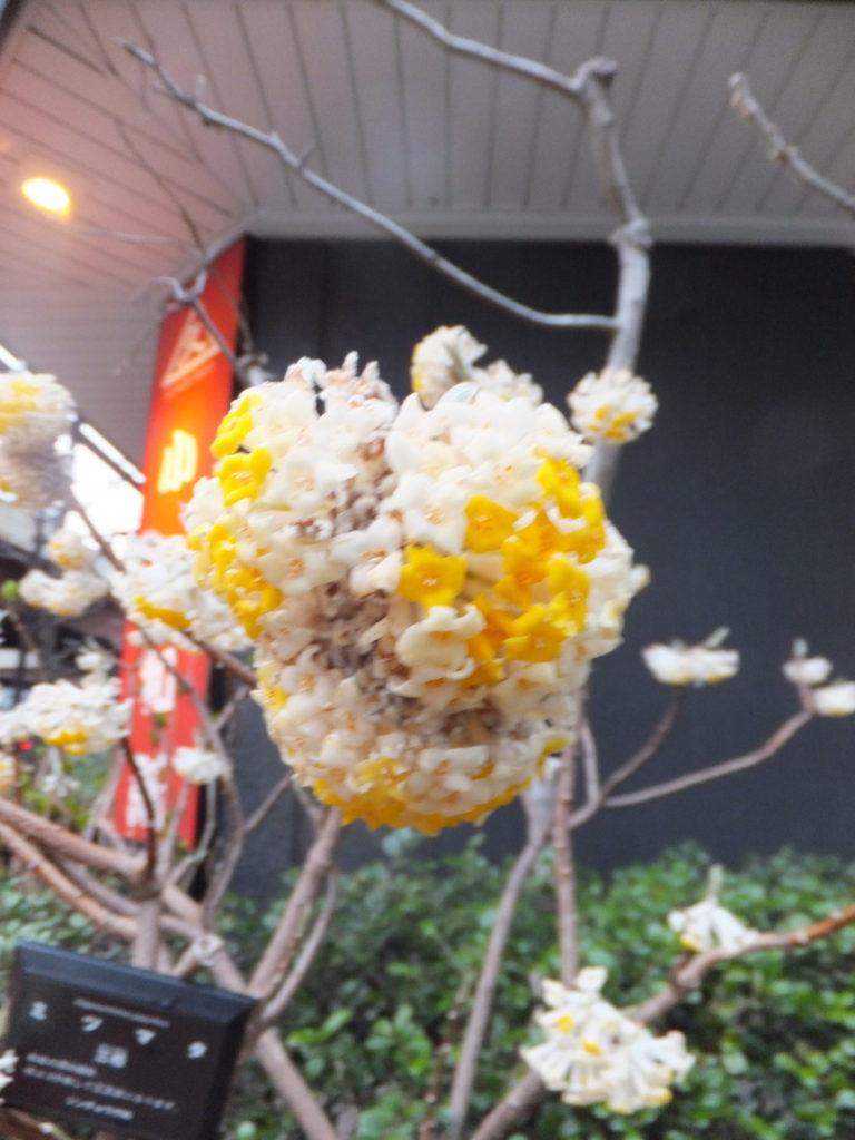 3月16日の三椏の花