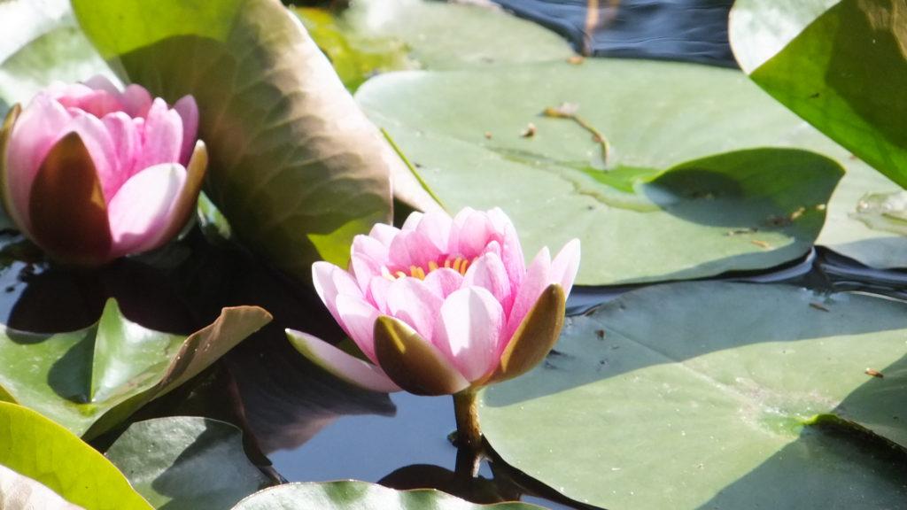 苦労や困難を肥料にして、心の奥に咲いている蓮の花2