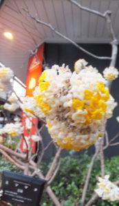 2019年3月15日小津和紙本館前の三椏