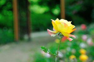 メルカリ用03 母の日用薔薇のプチ動画