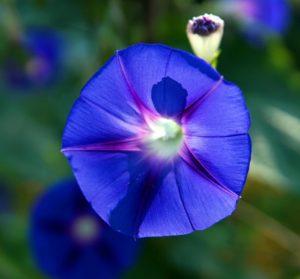 【オーダーメード・プチ動画】濃紺や紫の朝顔の写真に優しいピアノの調べを合わせた#暑中見舞いの#プチ動画はいかがですか?「絆のプチ動画#20」